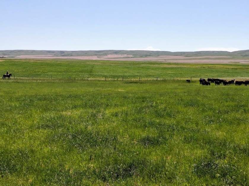 The rolling hills of Alberta's foothills provide the perfect nutrition for the Cattle at Benchmark Angus Ranch. #EatAlbertaFirst #AlbertaFoodTours #AlbertaCulinary #CulinaryTourism #eatlocal #AlbertaBeef