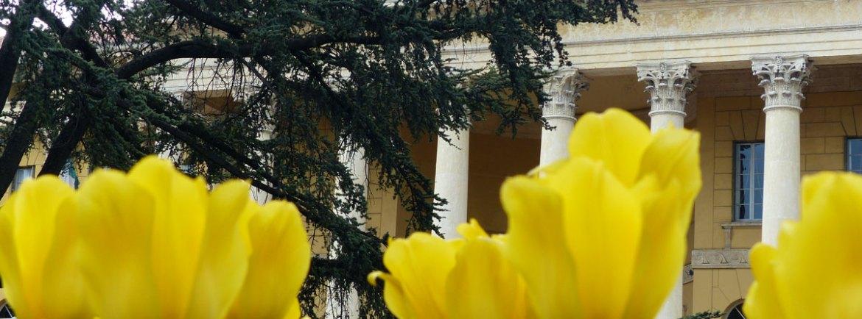 tulipani gialli in primo piano e palazzo barbieri, sede del comune di verona, sullo sfondo