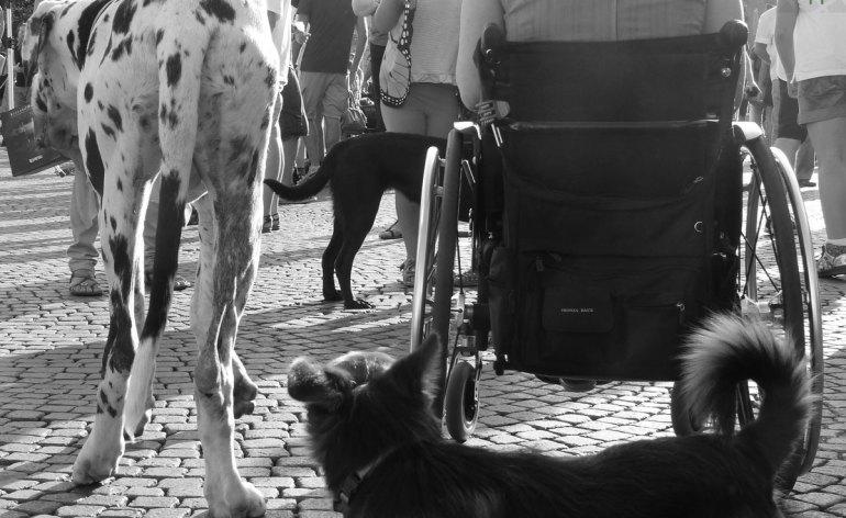 20130907-carrozzina-cani-alano-verona