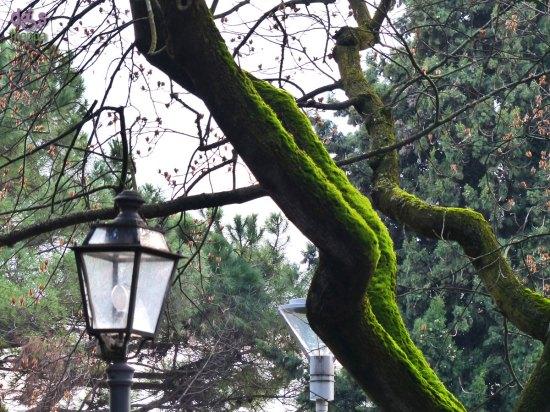 20140221 Muschio su tronco albero Garda Verona