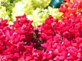 20140329 Verona in fiore Piazza Bra 272