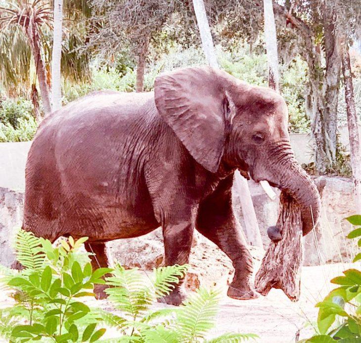 Caring For Giants Disney's Animal Kingdom Walt Disney World Elephants