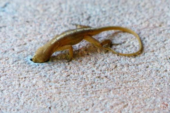Lizard by Hidden Springs Pool at Wilderness Lodge