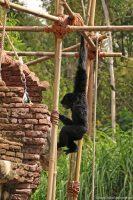 Animal Kingdom - Gibbons