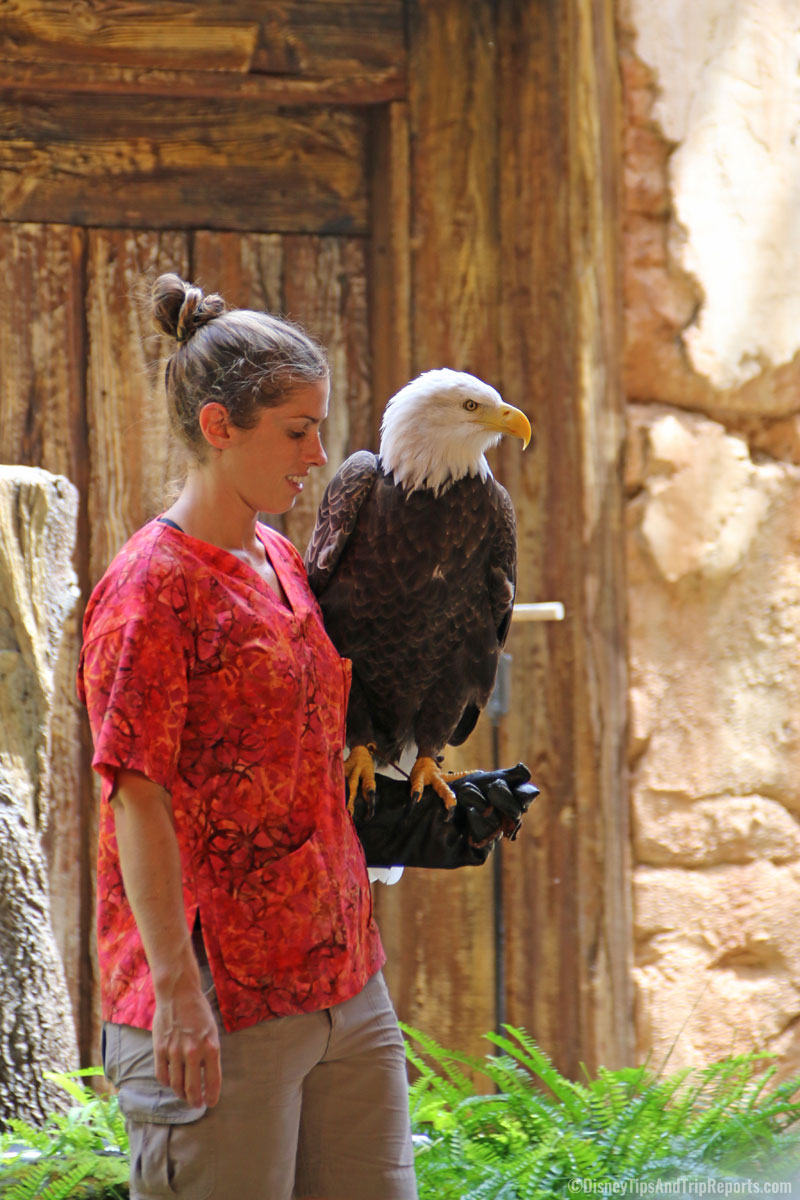 Animal Kingdom - Flights of Wonder - Bald Eagle