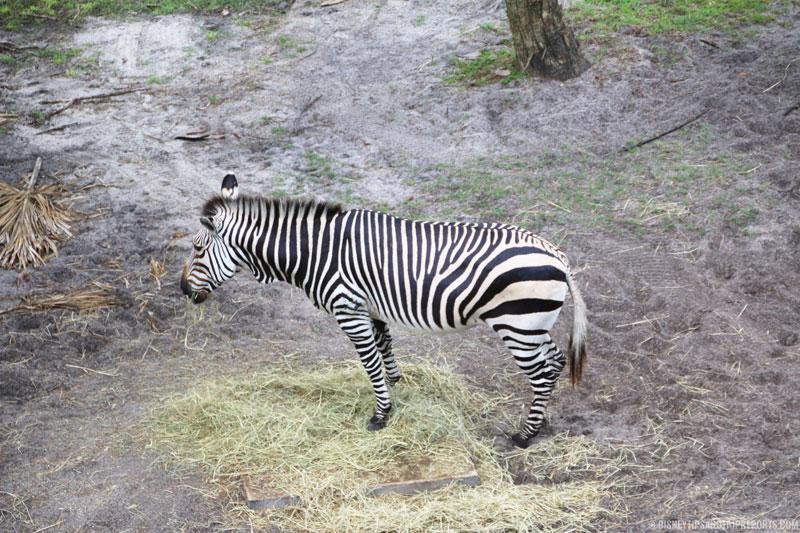 Zebra - Animal Kingdom Villas - Pembe Savanna
