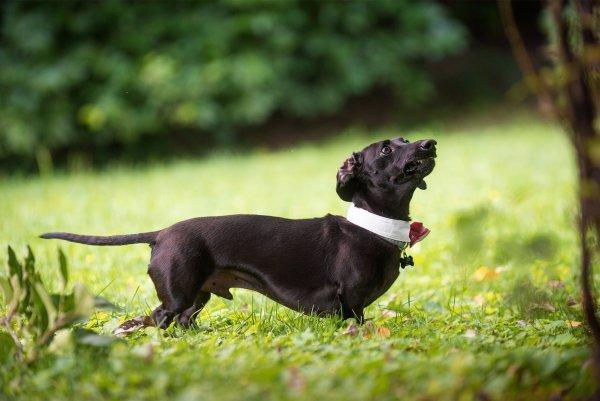 walter-dachshund-nikon-d810