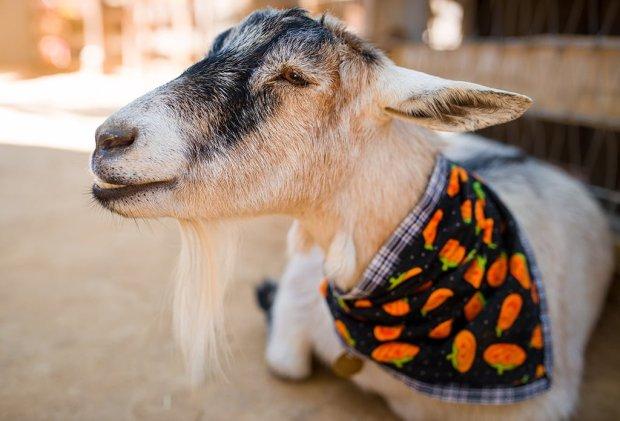 disneyland-halloween-goat