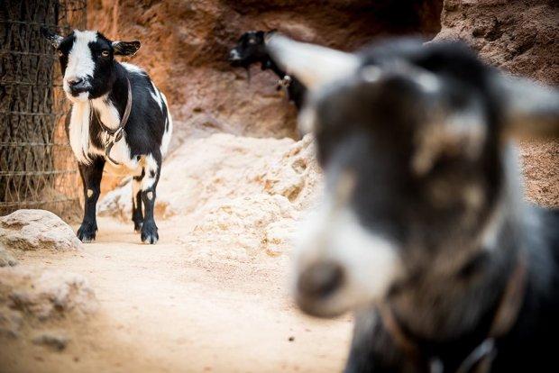 goat-galaxy-disneyland-490