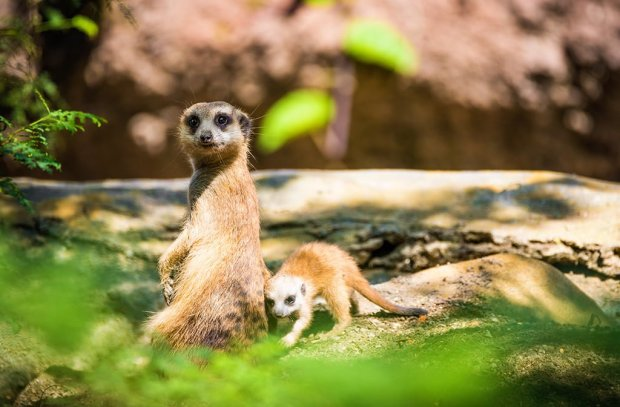 meerkat-baby-animal-kingdom-disney-world