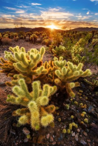 Cholla-Cactus-Garden-Joshua-Tree-National-Park-afternoon-light-bricker