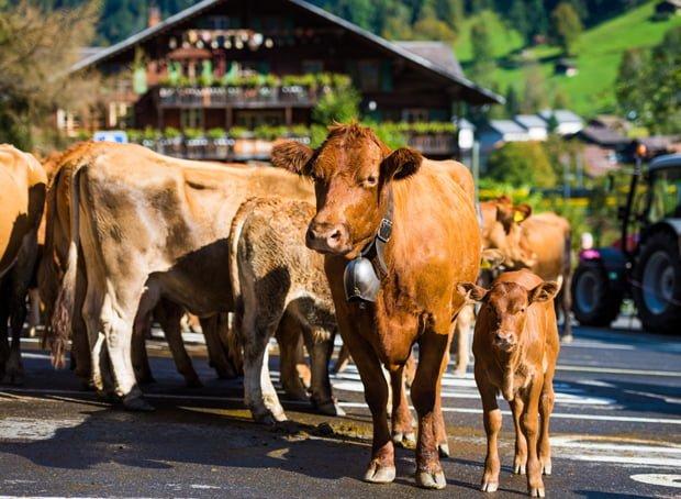 lauterbrunnen-swiss-alps-switzerland-cows-437