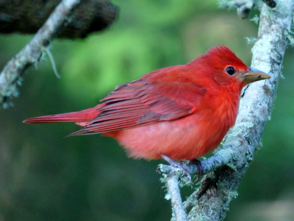 Red Color In Birds It S All In The Genes
