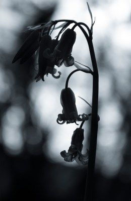 Black and white Bluebells