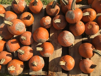 With over 5,000 pumpkins in the pumpkin patch, the difficulty is trying to pick which one to take home.