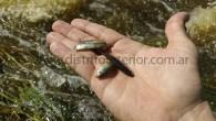 Desde la llegada del importante caudal queafecta a la localidad se ha observado la presencia de estos pequeños peces, los que en algunos casos han llegado hasta los cordones de […]