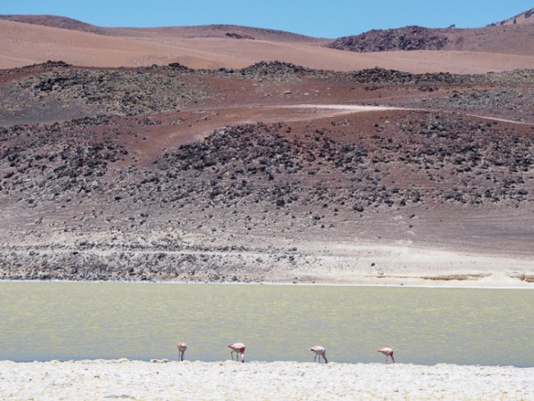 Flamingo's Atacama