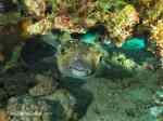 Buffer fish hiding under reef red sea aqaba