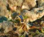 Nudibranch Red Sea