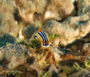 Nudibranch Red Sea
