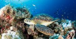 Green turtle over the reef