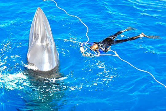 Image result for minke whales great barrier reef