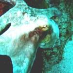 03-caribbean-reef-octopus-br-website