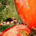 26-banded-coral-shrimp-mh-website