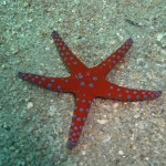 Ghardaqa sea star1