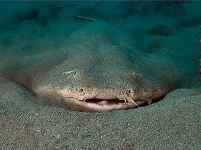 Timanfaya Reef, Angelshark, plongée, Dive College Lanzarote, Playa Blanca
