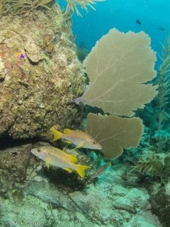 Snappers and purple fan corals