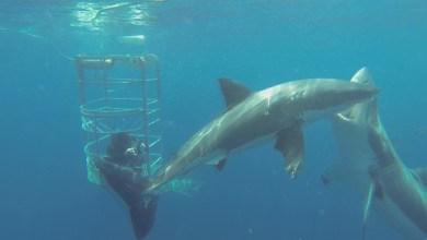 shark-bites-shark