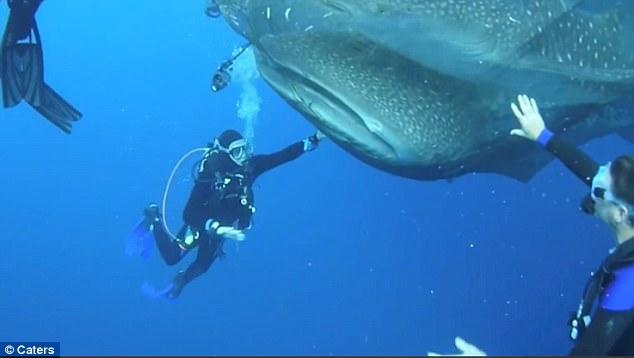 חילוץ ארבעה כרישי לוויתן