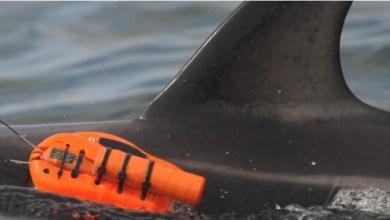 מצלמה אשר הותקנה על גבו של דולפין