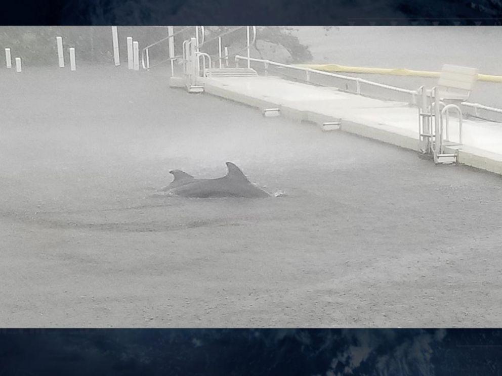 למרות הוריקן אירמה נשארו לטפל בדולפינים
