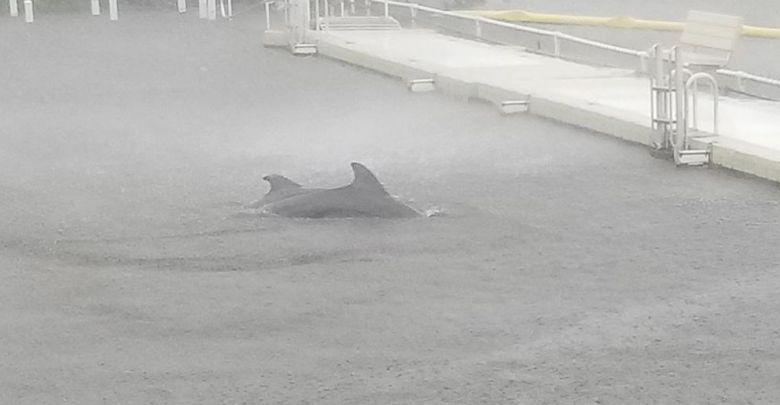 דולפינים בסערה אירמה