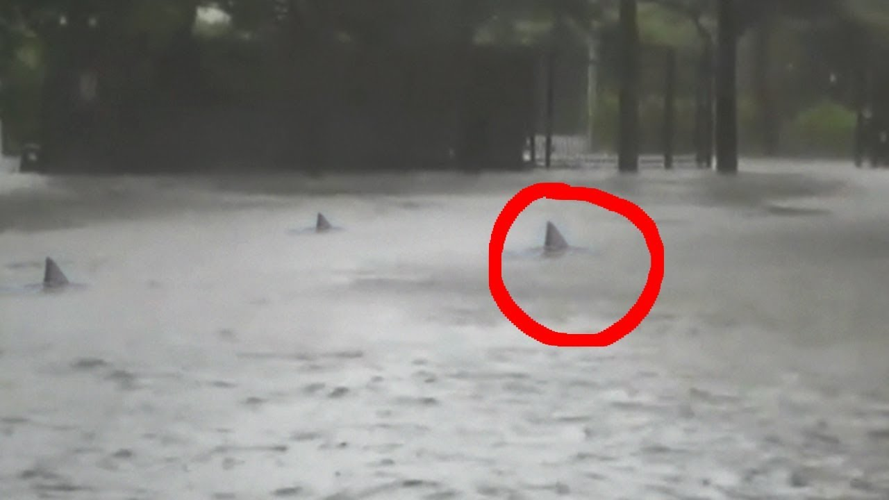 עוד מספיחי הסופה אירמה – כרישים נצפו באחד מרחובותיה המוצפים של מיאמי