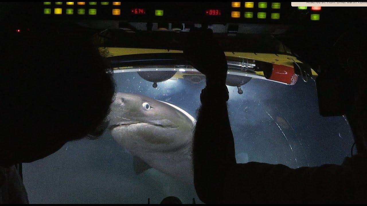 כרישים טורפים גופה של לוויתן על קרקעית האוקיאנוס בעומק 700 מ' – וידאו מדהים