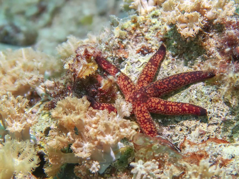 Reddish starfish with 6 arms- Romblon