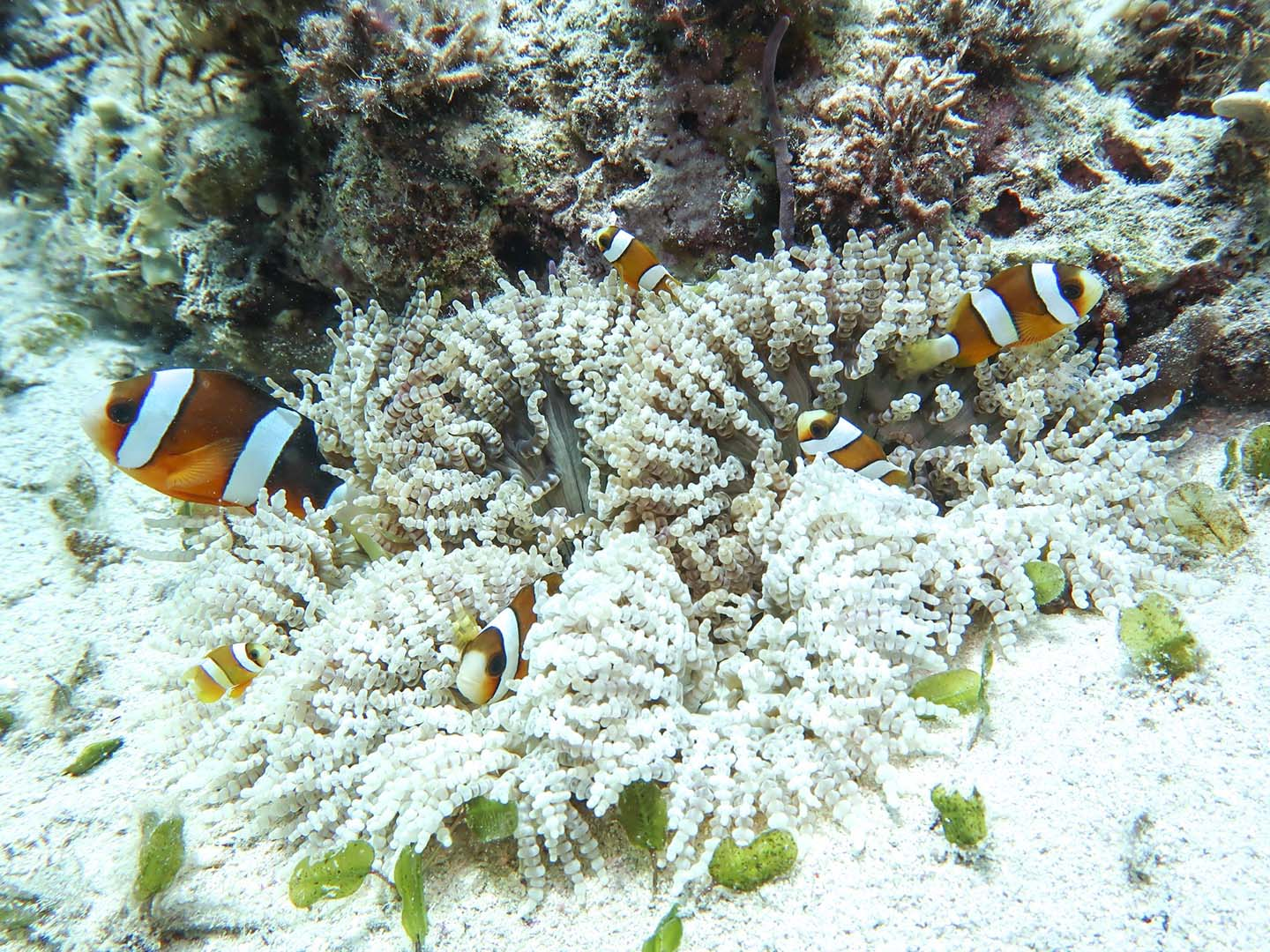 Family of clownfishes on an anemone in Romblon Island