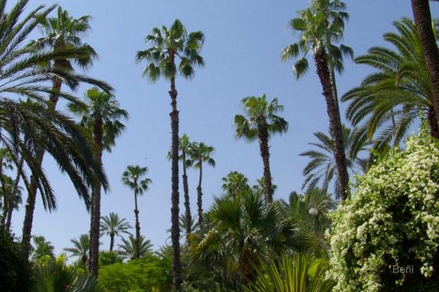 palmeras en el Jardin de Majorelle en Marrakech