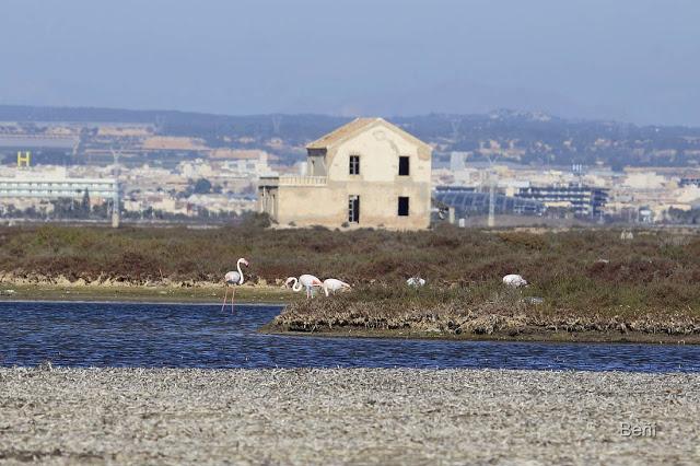 flamenco rosa en los canales de comunicacion del mar menor