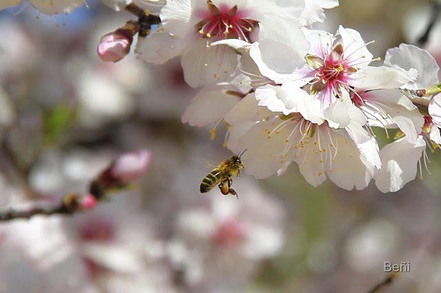 detalle de lascorbículas en las patas posteriores de la abeja melifera