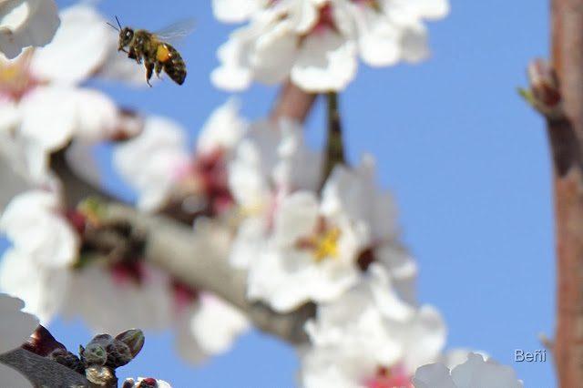 abeja melifera al vuelo