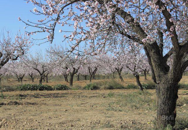 arboles del almendro en flor