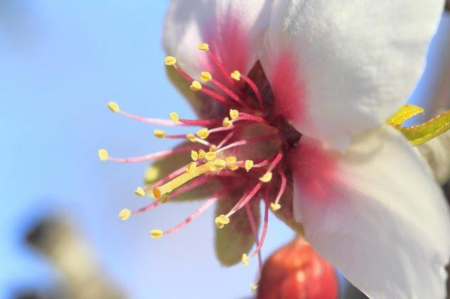 macrofotografia de la flor del almendro