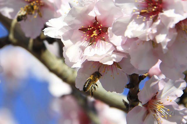 abeja melifera y flor del almendro
