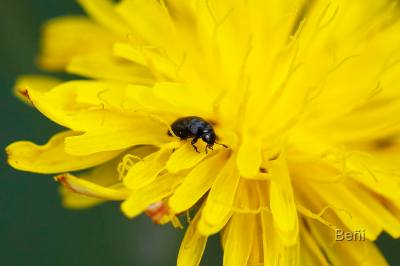 un insecto coleoptero en una flor amarilla
