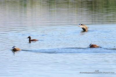 malvasia cabeciblanca en las lagunas de campotejar