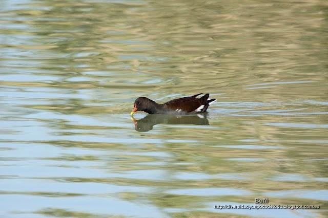 Gallineta comun o polla de agua, Common gallinule, Gallinula chloropus